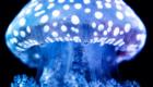 medusa Australiana moteada
