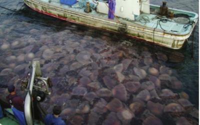 El ser humano y el incremento de medusas
