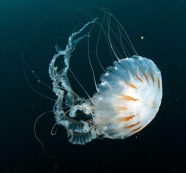 Medusa Ortiga del atlántico