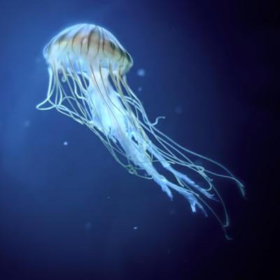 Medusa Ortiga Japonesa